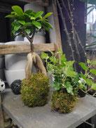 Kokédamas Plantes Noix de coco Fleuriste Lambersart