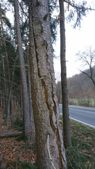 Der Baum wurde vermutlich durch einen Blitzschlag gespalten und dadurch stark beschädigt.
