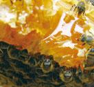 蜜巣の蜜を吸うミツバチ