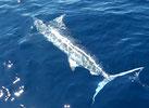 Seychellen angeln Marlin Nov. 13