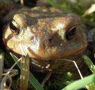 Frühlingserwachen: Die ersten Erdkröten haben den Teich in der Hölle entdeckt. Foto: D. Jansen