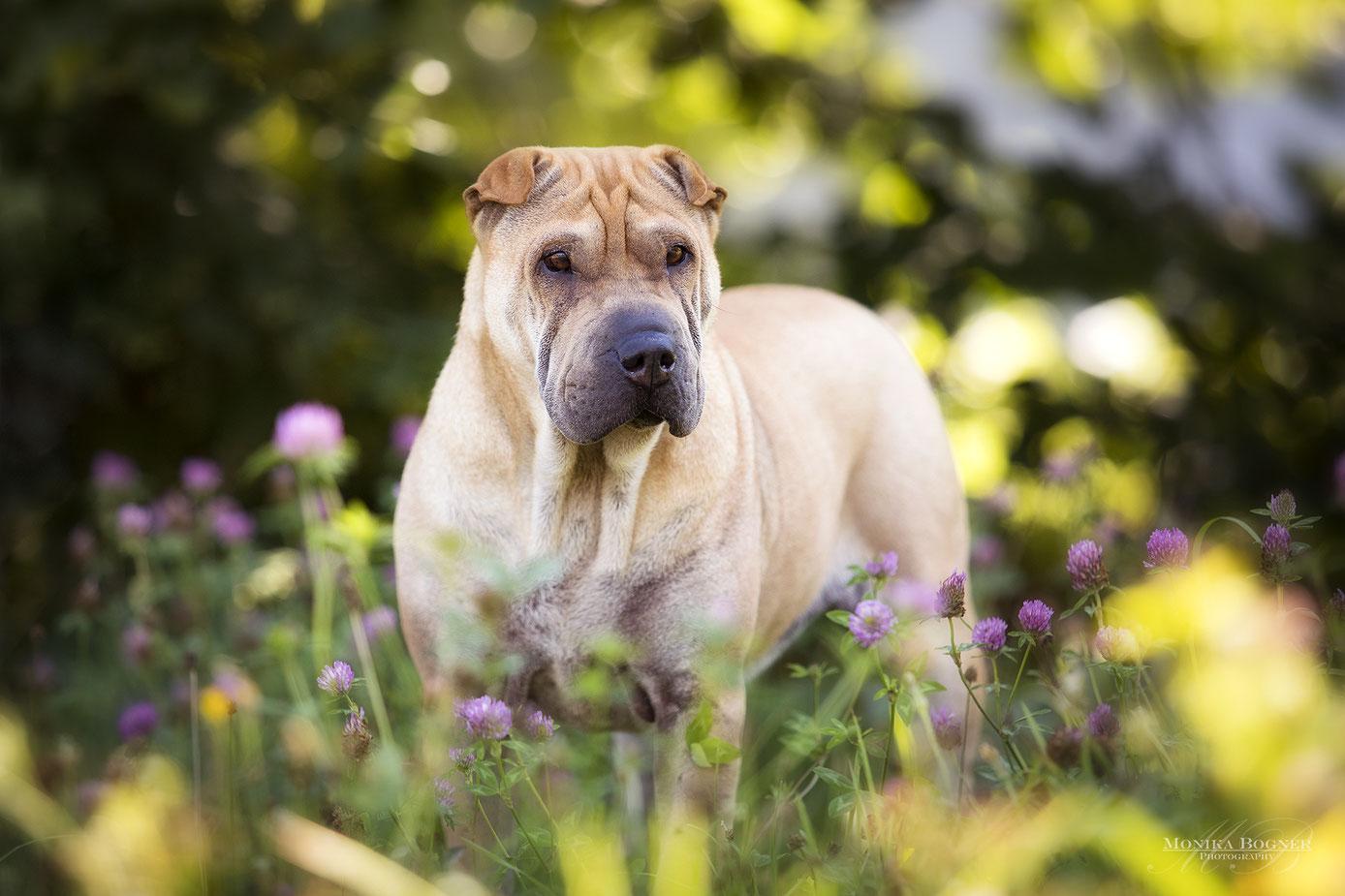 Shar-Pei, Hundefotgrafie, Hundeshooting