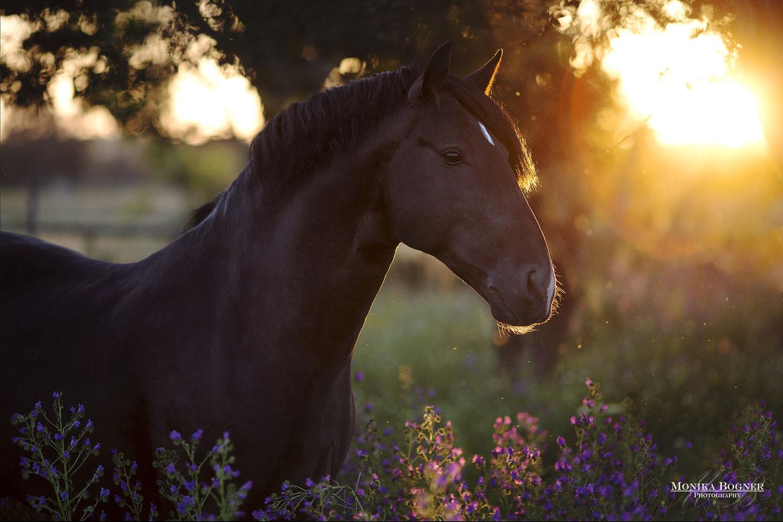 Lusitano Pferd im Sonnenuntergang, Pferdefotografie