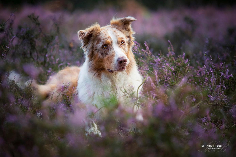 australian shepherd red merle, Fotoshooting mit Hund