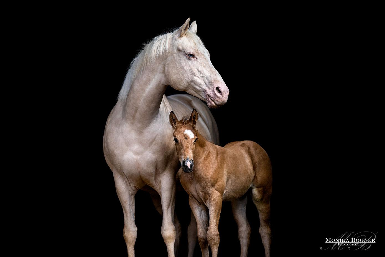 Quarter Horse, Stute mit Fohlen, Pferdefotografie Bayern