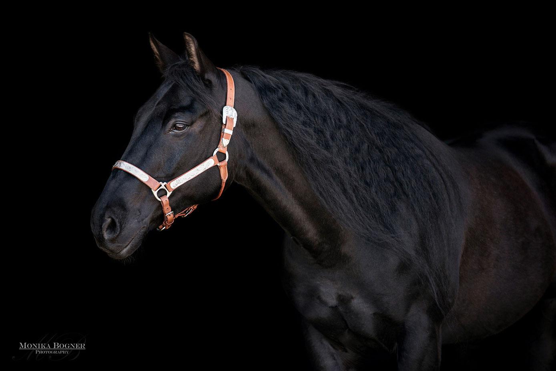 Quarter Horse, Fotos vor schwarzem Hintergrund