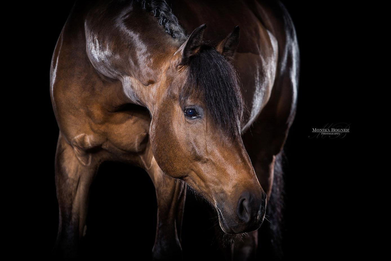 Pferde im Studio, Pferde vor schwarzem Hintergrund, Pferdefotografie