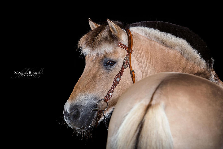 Norweger, Pferde im Studio, Pferde vor schwarzem Hintergrund, Pferdefotografie