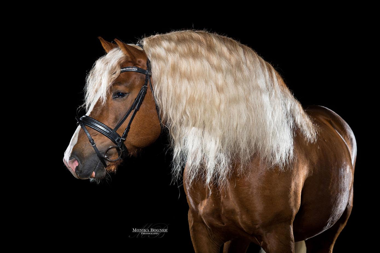 Pferde im Studio, Pferde vor schwarzem Hintergrund, Pferdefotografie, Kaltblut, Hengst