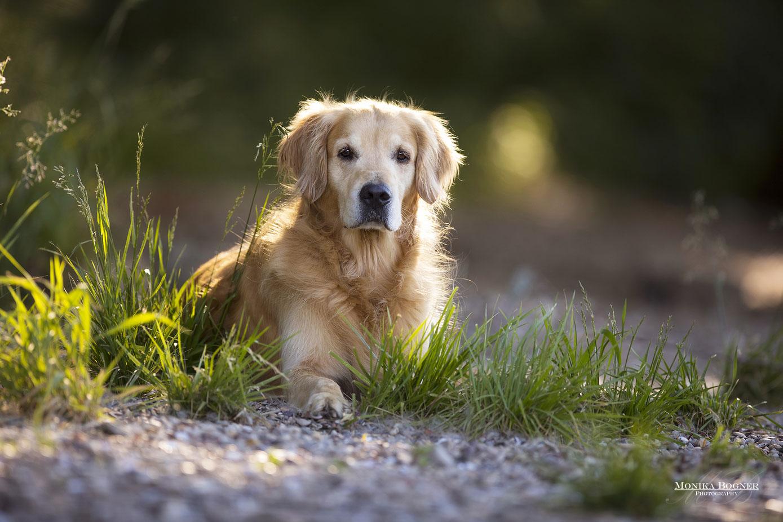 golden retriver, Hundeshooting