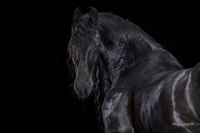 Ganz und zu Extrem Pferde im Studio - Monika Bogner Photography - Pferdefotografie #AM_56