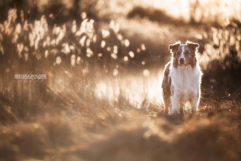 Hundefotografie in der Natur -  Aussie