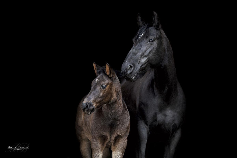 Fotos vor schwarzem Hintergrund, Quarter Horse Stute mit Fohlen