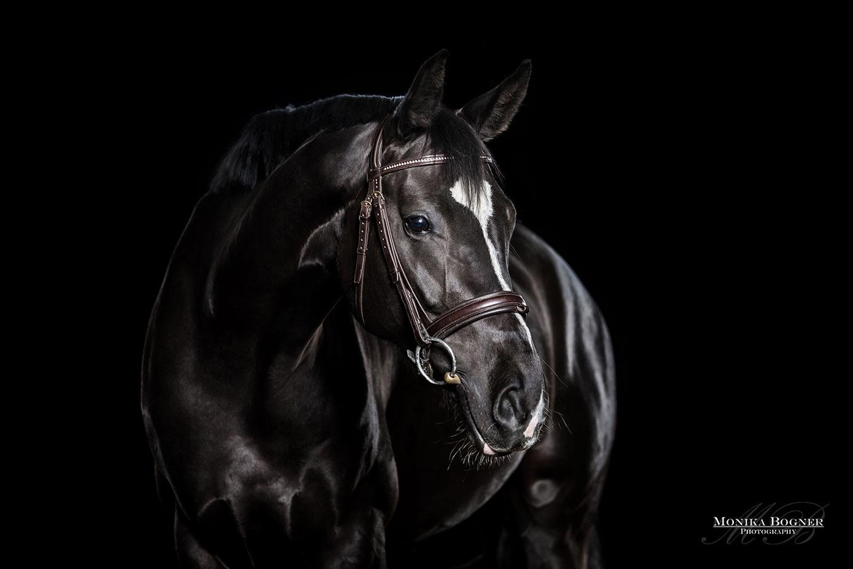 Pferde im Studio, Pferde vor schwarzem Hintergrund, Pferdefotografie, Rappe, Dressurpferd