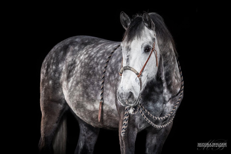 Pferde im Studio, Pferde vor schwarzem Hintergrund, Pferdefotografie, Apfelschimmel, Westernpferd