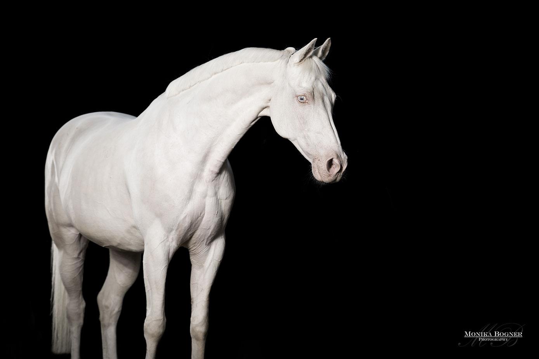 Pferde im Studio, Pferde vor schwarzem Hintergrund, Pferdefotografie, Springpferd,