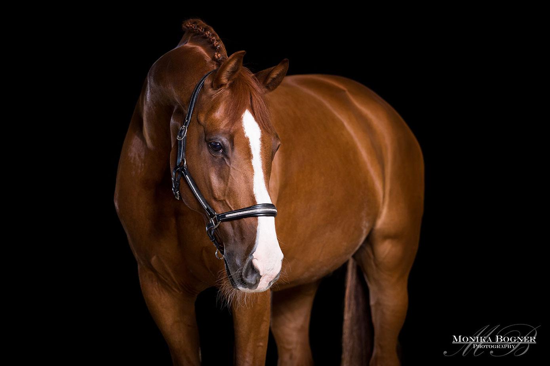 Pferde im Studio, Pferde vor schwarzem Hintergrund, Pferdefotografie, Fuchs, Springpferd