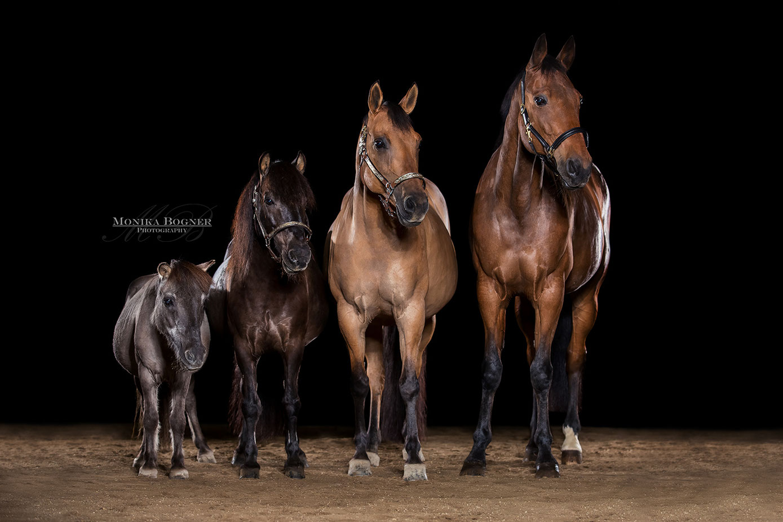 Pferde im Studio, Pferde vor schwarzem Hintergrund, Pferdefotografie, vier Pferde, Quarter Horse, Pony, Traber