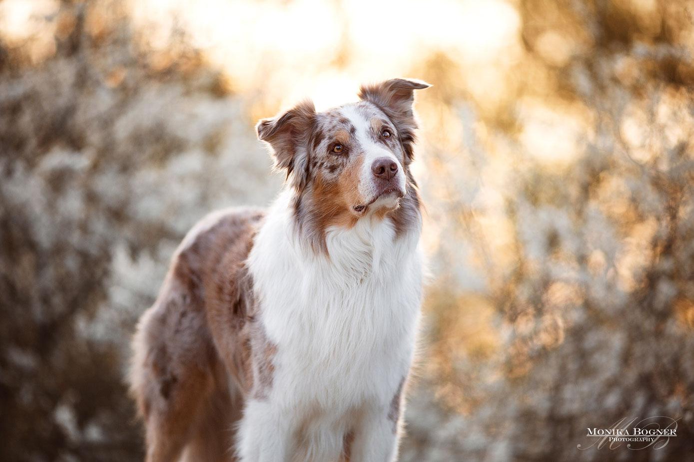 australian shepherd red merle, Fotoshooting mit Hund, Hundeshooting, Aussie