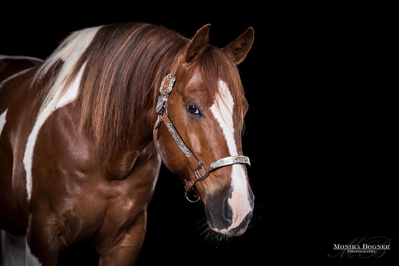 Pferde im Studio, Pferde vor schwarzem Hintergrund, Pferdefotografie, Westernpferd, Paint Horse