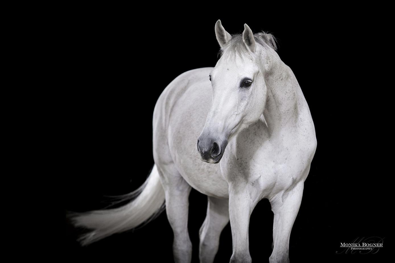 Pferde im Studio, Pferde vor schwarzem Hintergrund, Pferdefotografie, Schimmel, Warmblut