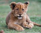 bebe petit lion lionceau