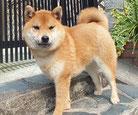 赤柴犬の画像