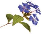 Bach Blüten Nr. 5 Cerato Bleiwurz
