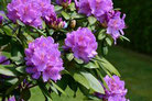 Un rhododendron avec des fleurs mauves toxique pour le chien le chiot par coach canin 16 éducateur canin en charente