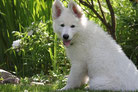 Un chien Berger blanc suisse assis sous des arbres par coach canin 16 educateur canin en charente