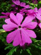 #8  サクラソウ科の花