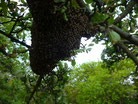 Bienenschwarm kaufen, Harzer Gebirgsimkerei