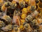 Buckfast VSH Königinnen kaufen, Harzer Gebirgsimkerei