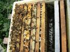 überwinterte Carnica Bienenvölker kaufen, Harzer Gebirgsimkerei