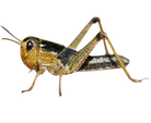 Wanderheuschrecke