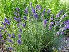 Lavendel fein* bio