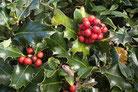 Une branche de houx avec ses fruits toxiques pour le chien, le chiot par coach canin 16 éducateur canin en charente