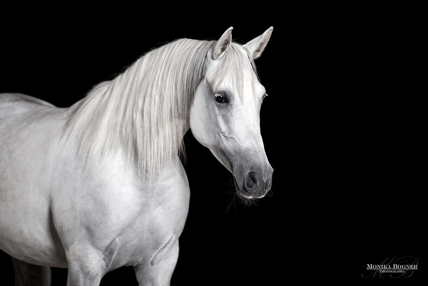 Pferde im Studio, Pferde vor schwarzem Hintergrund, Pferdefotografie, Schimmelstute, Araber
