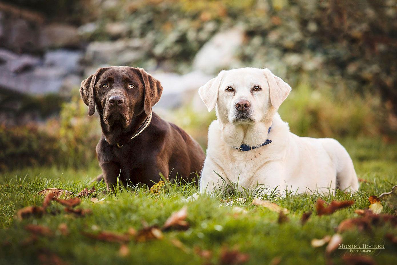 Labrador braun und blond