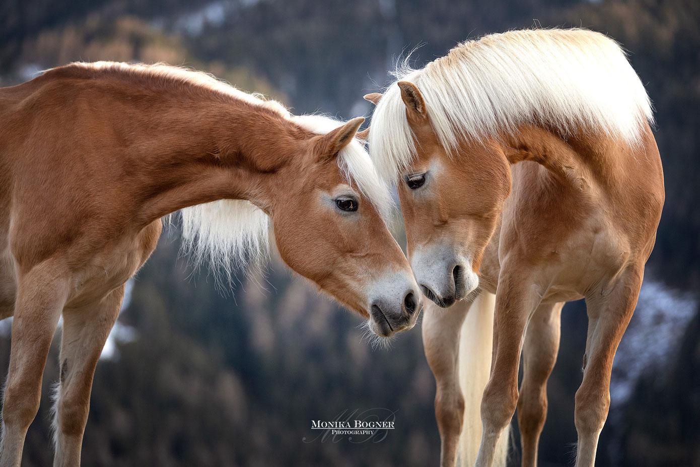 Haflinger, Fotoshooting mit Pferd, Haflinger in Österreich