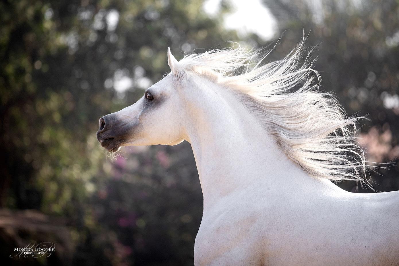Araber, Schimmel, Pferdefotografie, Pferde im Freilauf