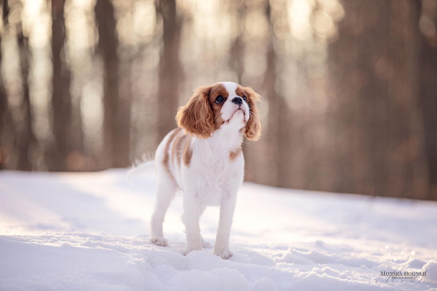 Hundefotografie im Winter, Welpenfotoshooting