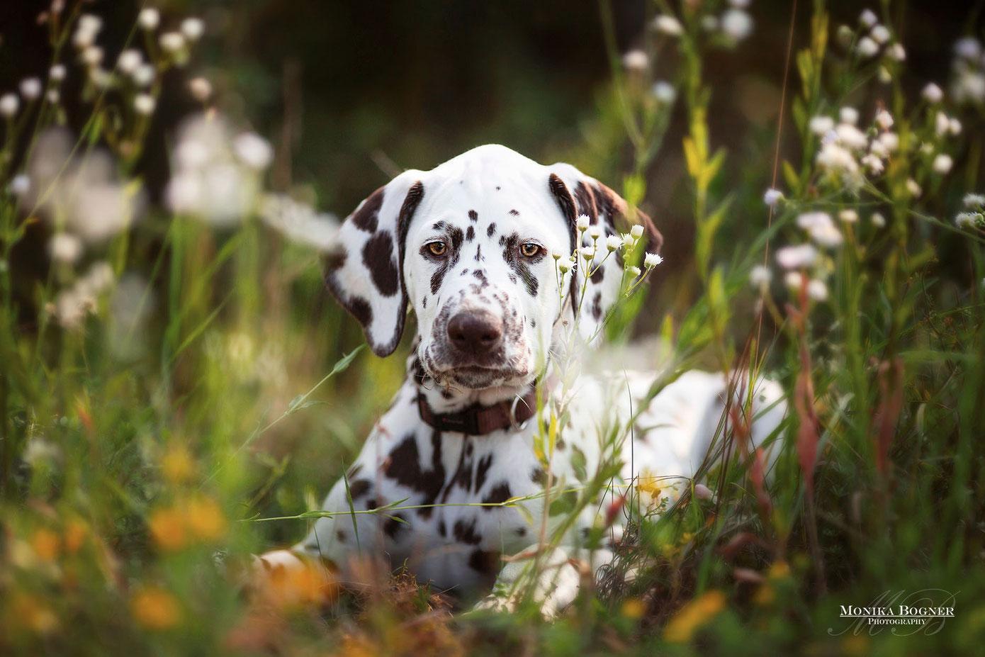 Dalmatiner Welpe beim Fotoshooting im Frühling