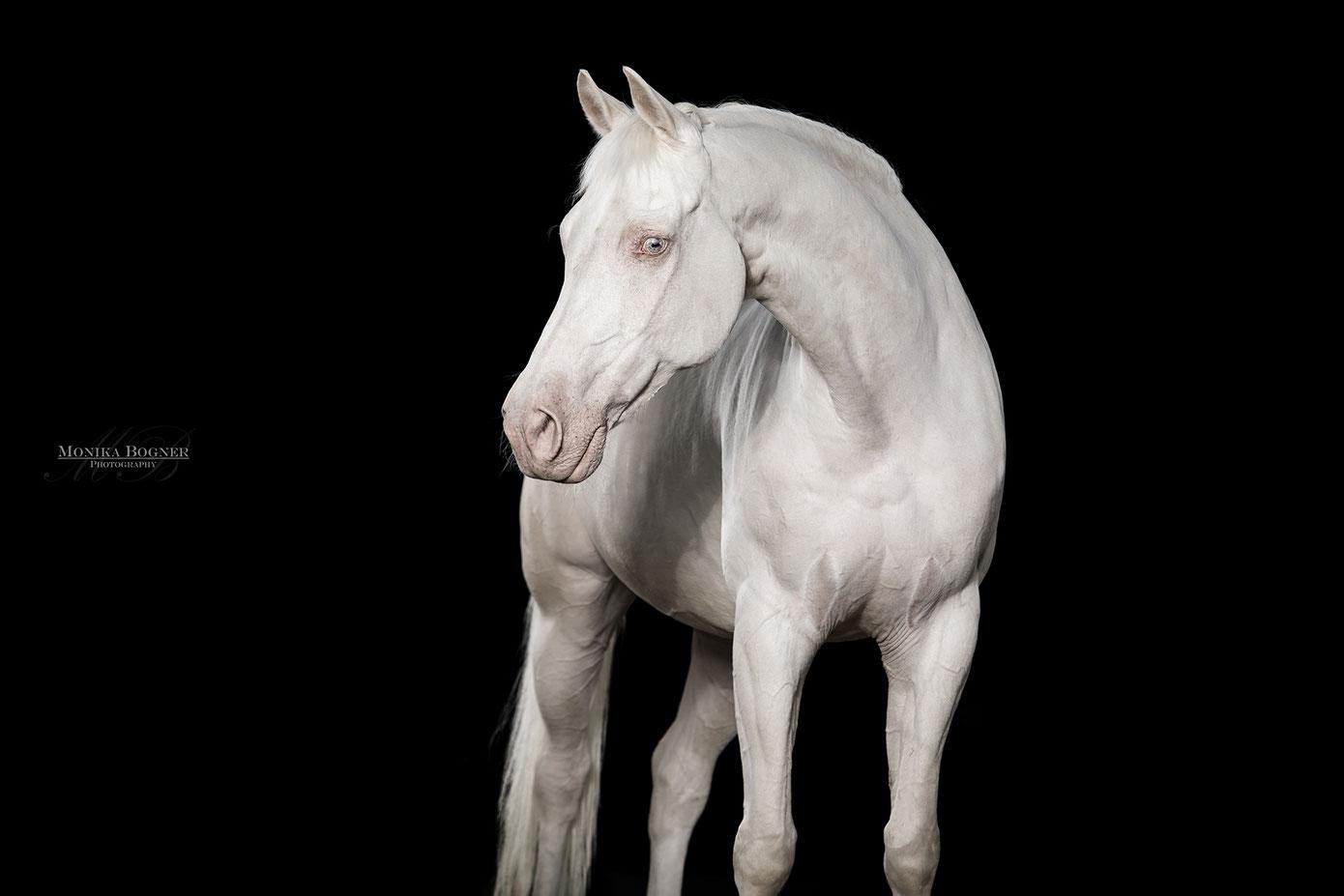 Pferde im Studio, Pferde vor schwarzem Hintergrund, Pferdefotografie, Warmblut