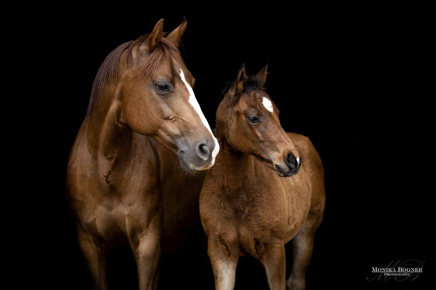 Quarter Horse Stute mit Fohlen, Pferde Fotoshooting vor schwarzem Hingtergrund