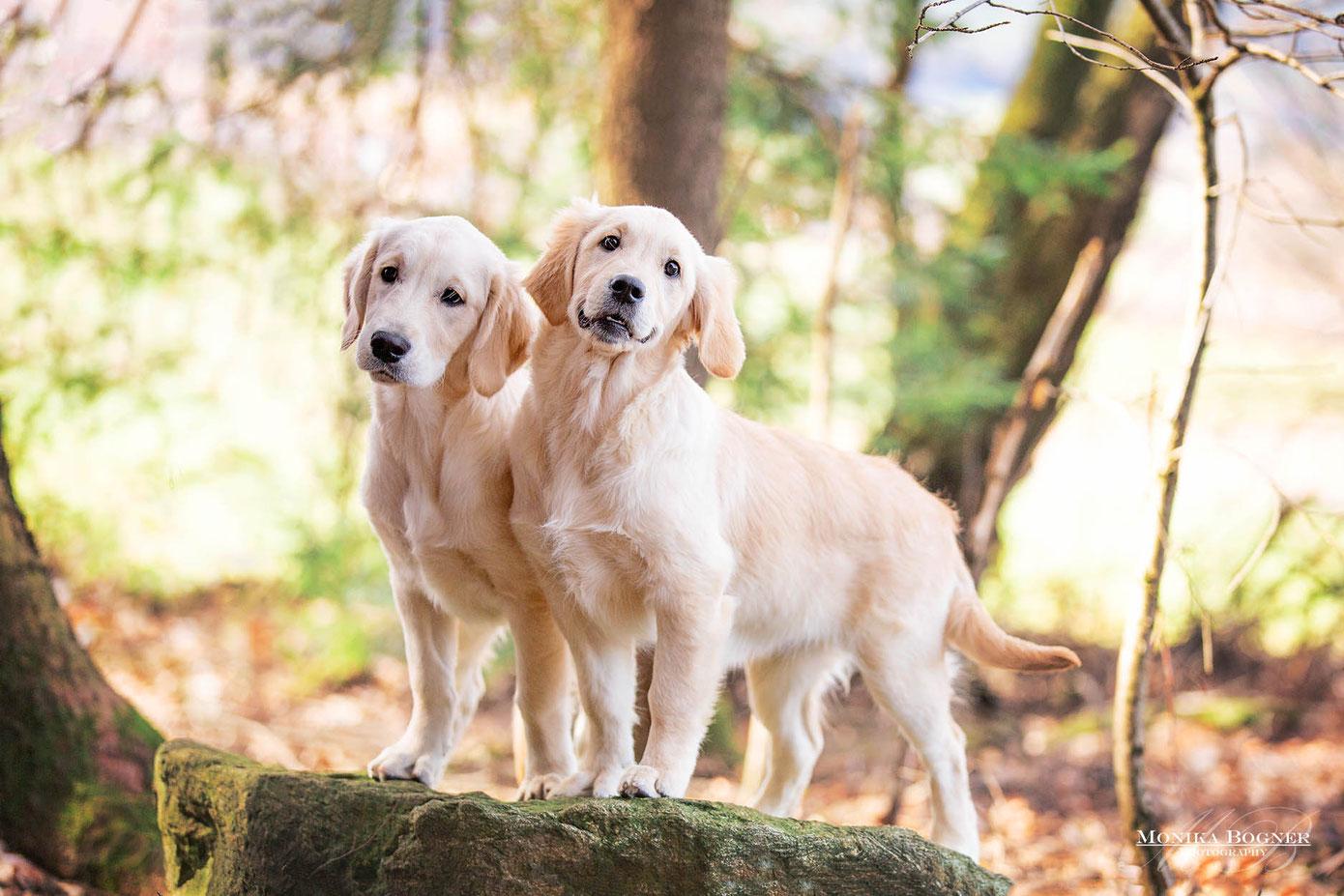 Golden Retriever Welpen, Fotoshooting mit Hund