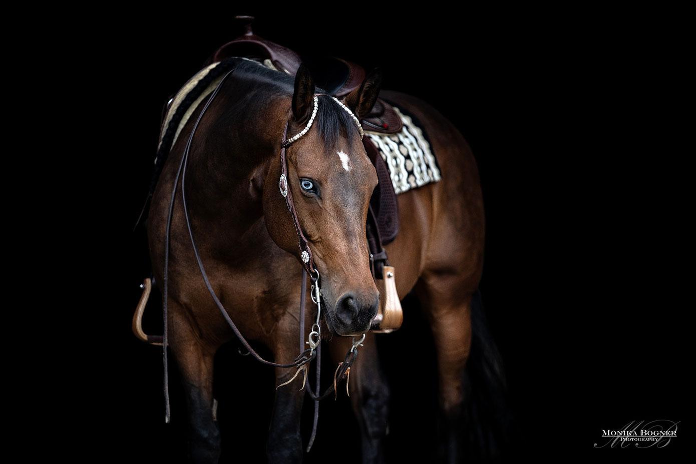 Quarter Horse, Paint Horse,Fotos vor schwarzem Hintergrund