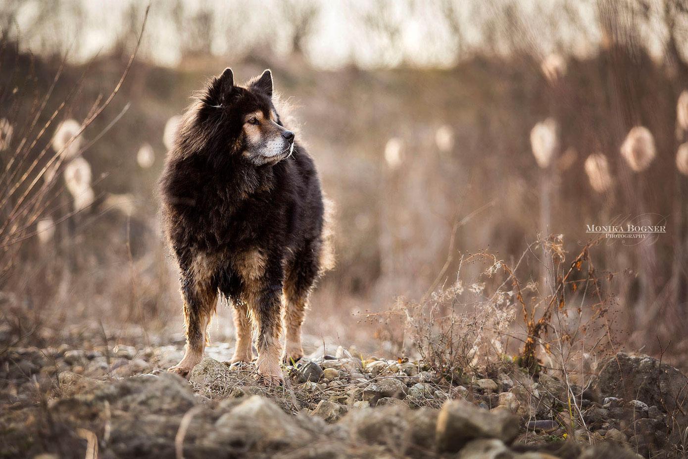 Eurasier, Fotoshooting mit Hund