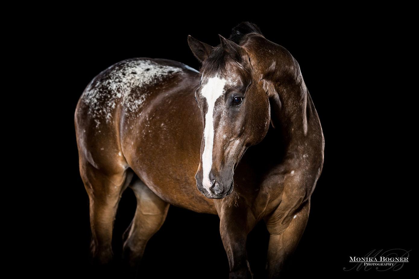 Appaloosa, Pferde im Studio, Pferde vor schwarzem Hintergrund, Pferdefotografie