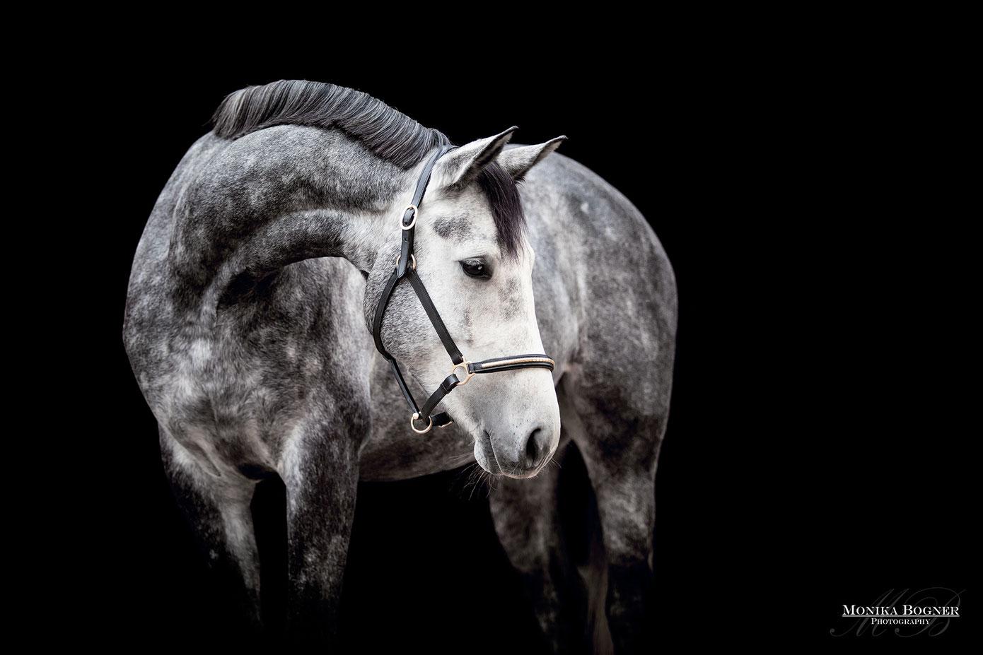 Fotos vor schwarzem Hintergrund, Dressurpferd, Schimmel